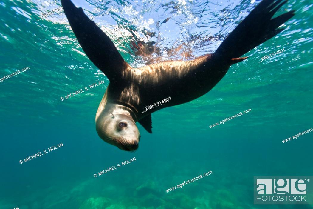 Stock Photo: California sea lion Zalophus californianus underwater at Los Islotes the islets just outside of La Paz, Baja California Sur in the Gulf of California Sea of.