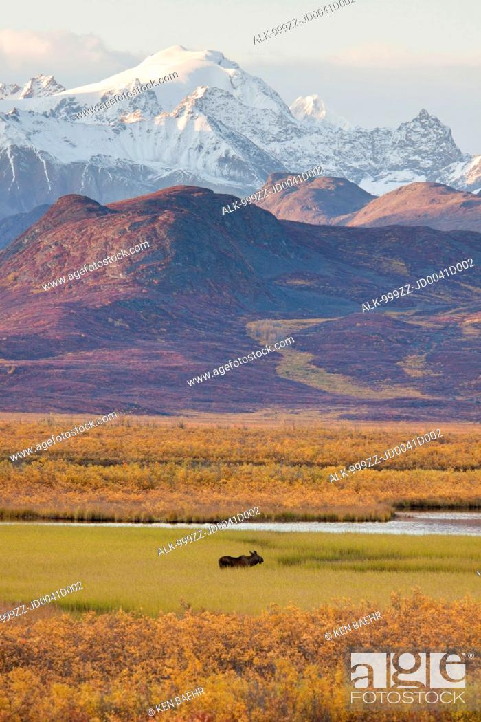 Photo de stock: Scenic view of the Alaska Range along the Maclaren River Valley with a moose in the foreground, Southcentral Alaska, Autumn.