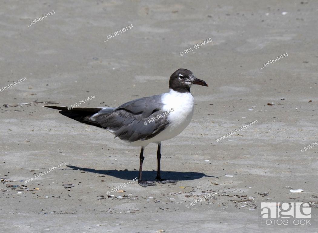 Stock Photo: Laughing Gull (Larus atricilla) on the beach of Daytona.