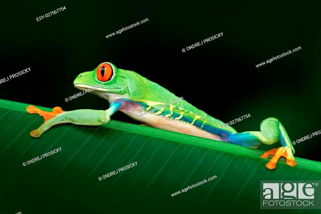 Stock Photo: Red-eyed Tree Frog, Agalychnis callidryas.