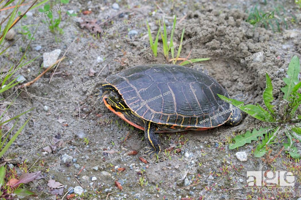 Stock Photo: Western painted turtle (Chrysemys picta bellii), female using her hind legs to fill in her nest cavity where she has just laid a clutch of eggs, Nicomen Slough.