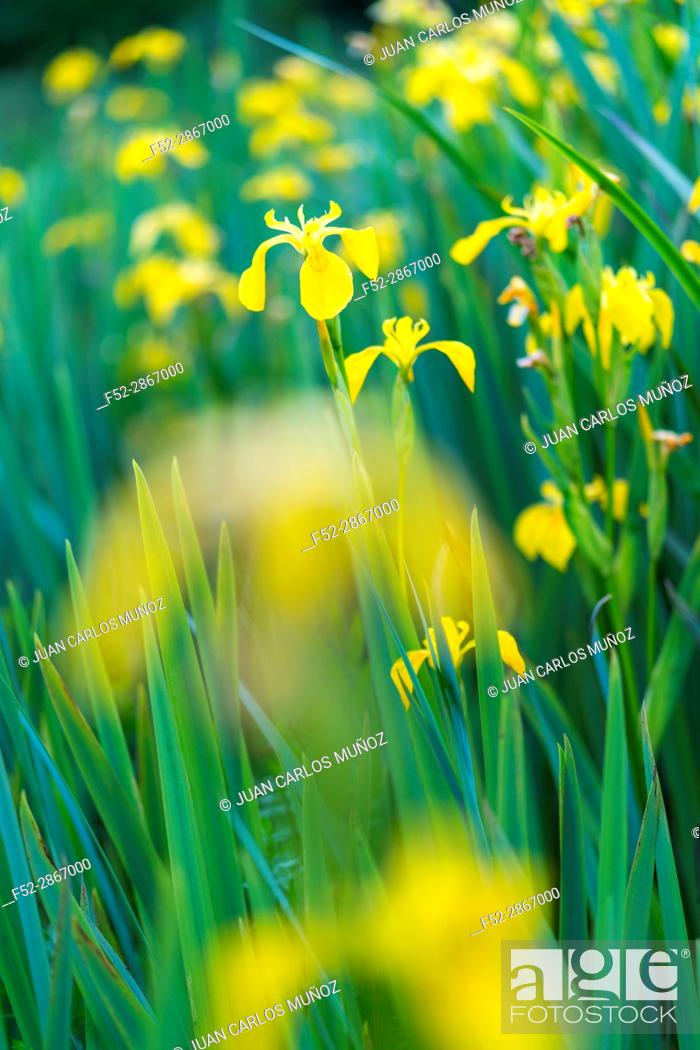 Stock Photo: YELLOW FLAG-LIRIO AMARILLO (Iris xiphioides), Flowers, Springtime, Liendo, Cantabria, Spain, Europe.