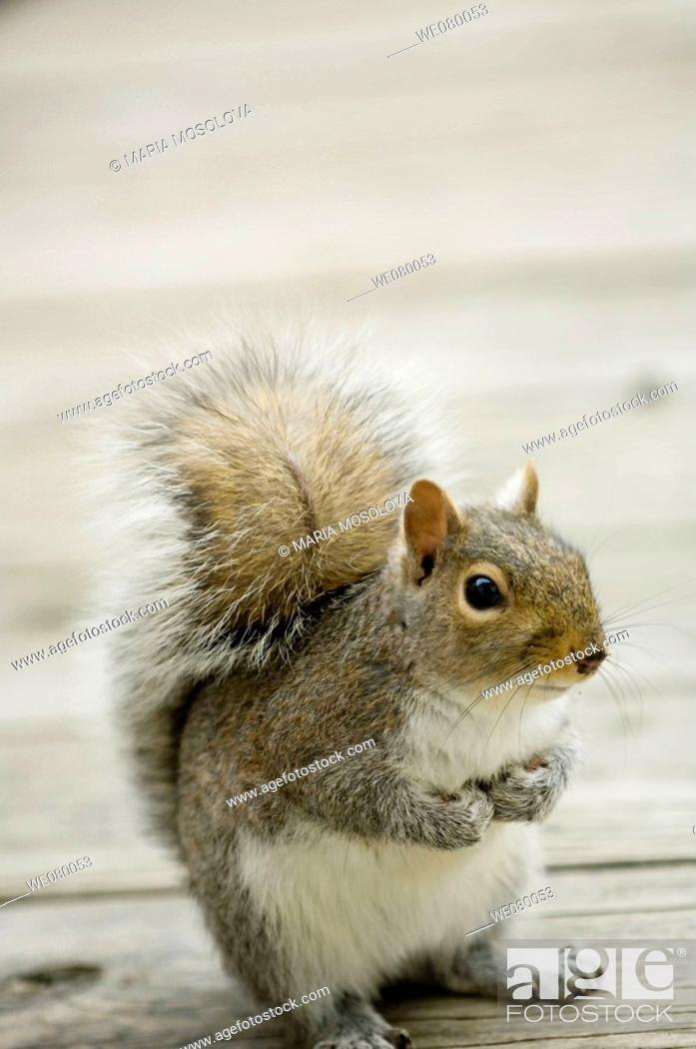 Stock Photo: Squirrel. Sciurus carolinensis. February 2008, Maryland, USA.