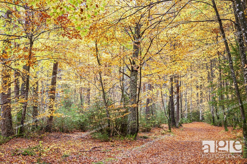 Imagen: Mata de Haya In Roncal Valley near Isaba, Navarra, Spain.