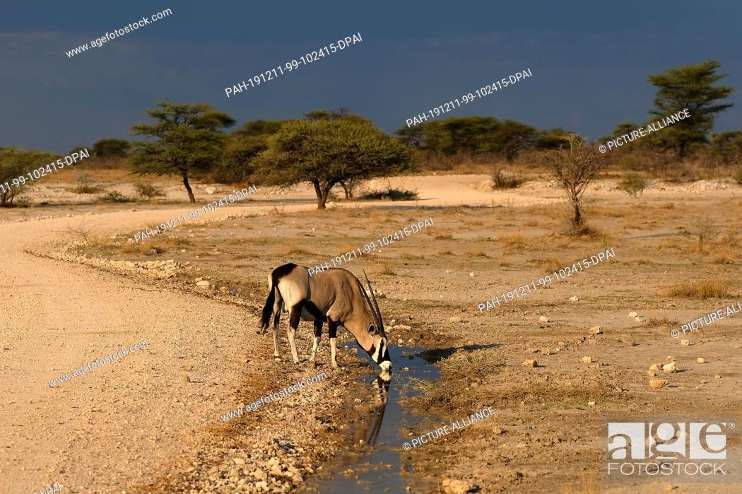 Stock Photo: 28 November 2019, Namibia, Etosha-Nationalpark: An oryx drinks from a puddle in Etosha National Park. Photo: Oliver Berg/dpa.