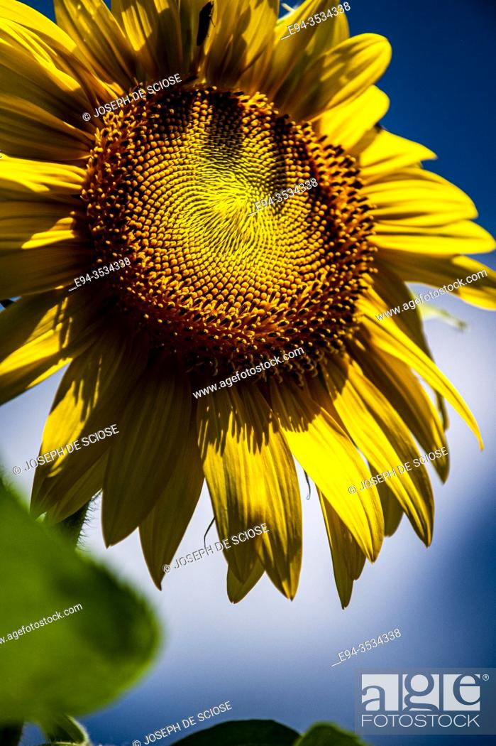 Stock Photo: Sunflower close up and detail.