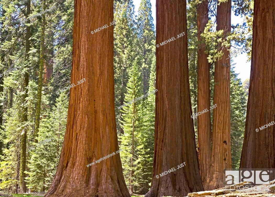 Stock Photo: A stand of Giant Sequoia Trees at Giant Forest at Sequoia National Park, California.