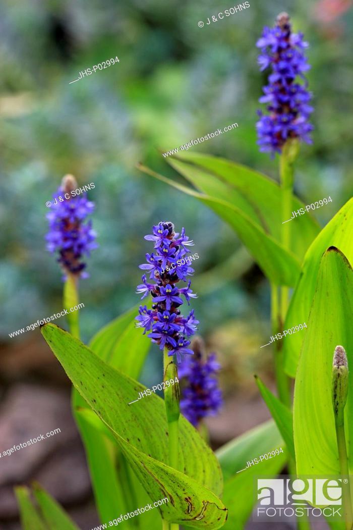 Stock Photo: Pickerelweed, Pontederia cordata, Ellerstadt, Germany, Europe, blooming at gardenpond.