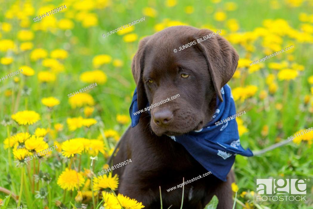 Stock Photo: Labrador retriever puppy, 12 weeks old Scotty sitting in a dandelion meadow, looking moony.