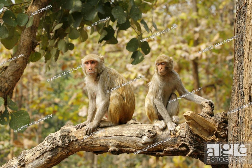 Stock Photo: Rhesus Macaque in India.