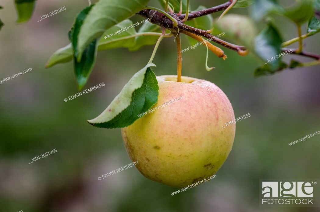 Imagen: Apples growing on an orchard in Livermore, Maine.