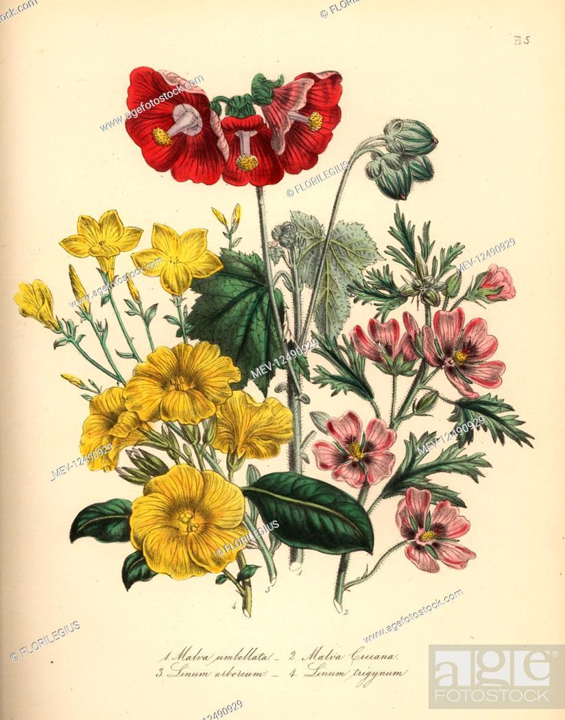 Stock Photo: Umbellate globe-mallow, Malva umbellata, showy red-flowered mallow, Malva creeana, tree flax, Linum arboreum, and Indian flax, Linum trigynum.