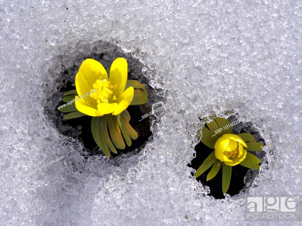 Stock Photo: Winter aconite Eranthis hyemalis.