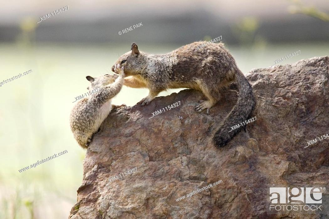 Stock Photo: California Ground Squirrel (Spermophilus beecheyi) babies play fight atop a rock at Alameda's Crown Beach, part of the East Bay Regional Parks District.