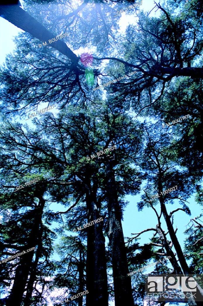 Stock Photo: Cedar trees near Ehden, Lebanon.
