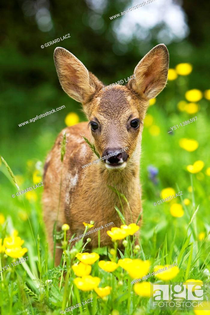 Stock Photo: Roe Deer, capreolus capreolus, Fawn with Yellow Flowers, Normandy.