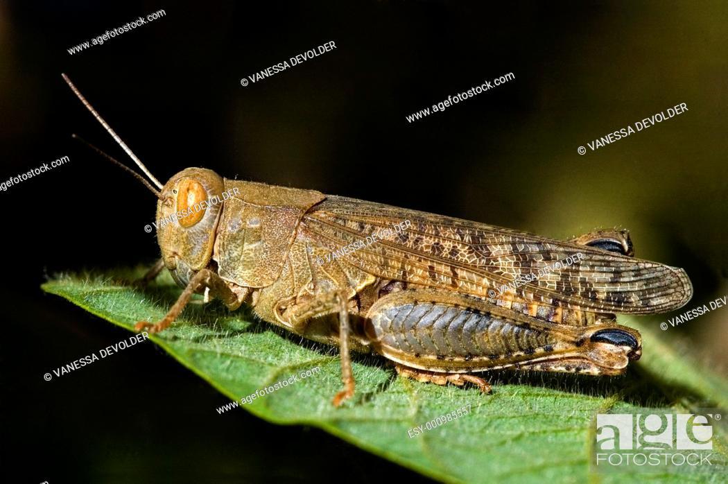 Imagen: Cricket on leaf  V5FRA0457.