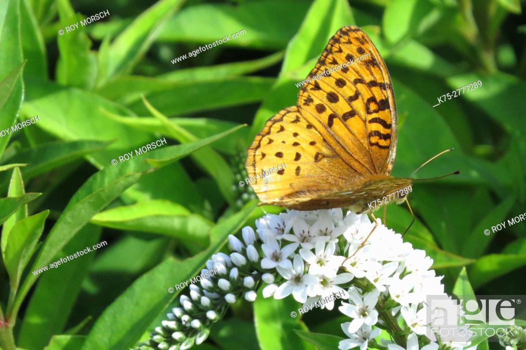 Imagen: Lesser fritillary.