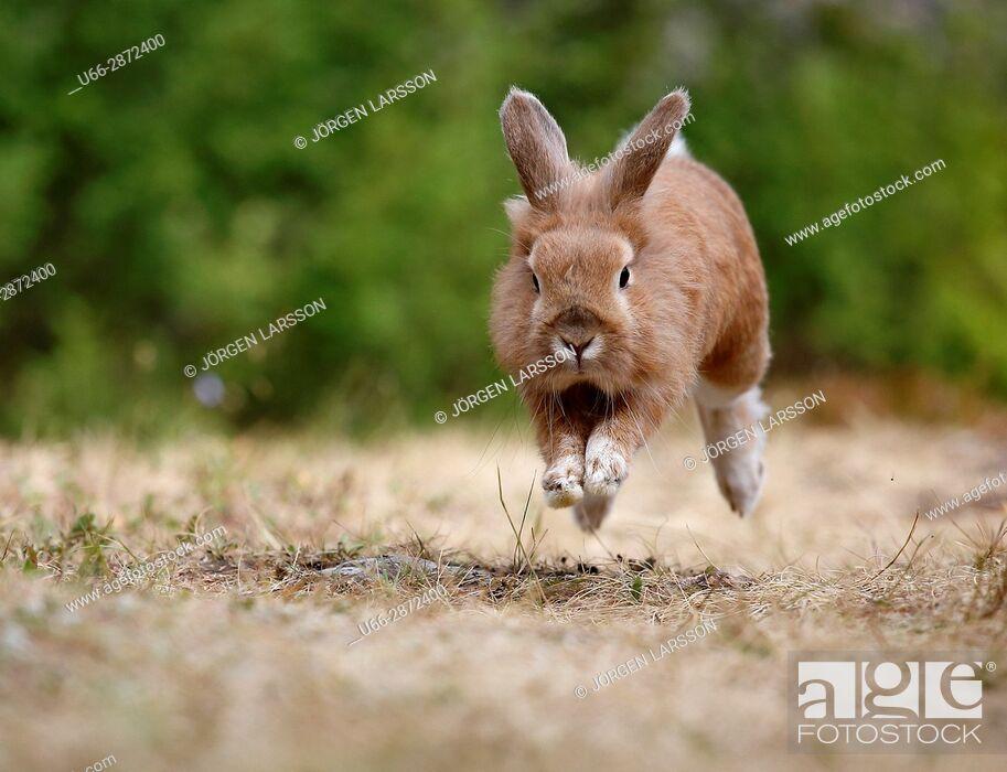 Imagen: European hare (Lepus europaeus) running through dry grass, Sweden.