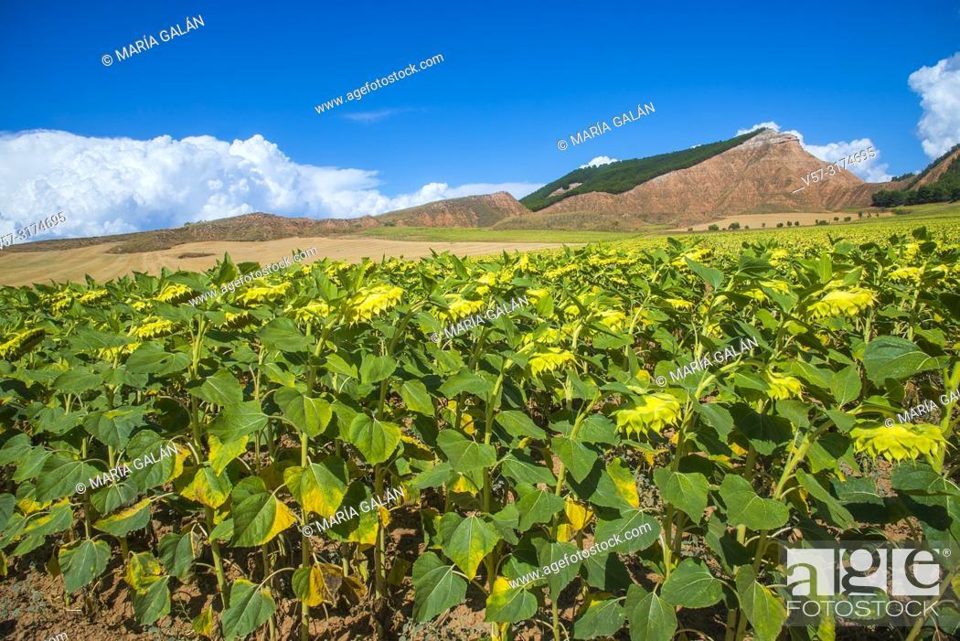 Stock Photo: Sunflowers fiel. Taracena, Guadalajara province, Castilla La Mancha, Spain.