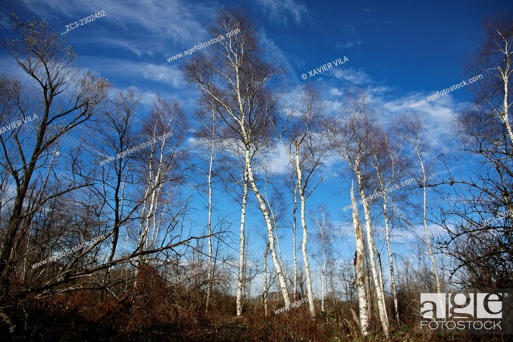 Stock Photo: Birch Trees in the nature, Isere, Rhone Alpes, Alps, Dauphine, France.