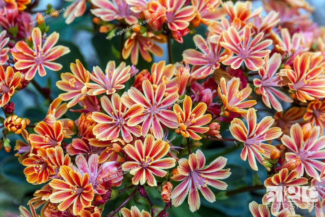 Stock Photo: Lewisia cotyledon is a plant for dry alpine parts.