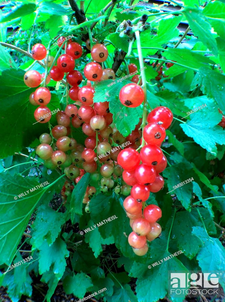 Imagen: red currant growing on bush, Bavaria, Germany, Europe.