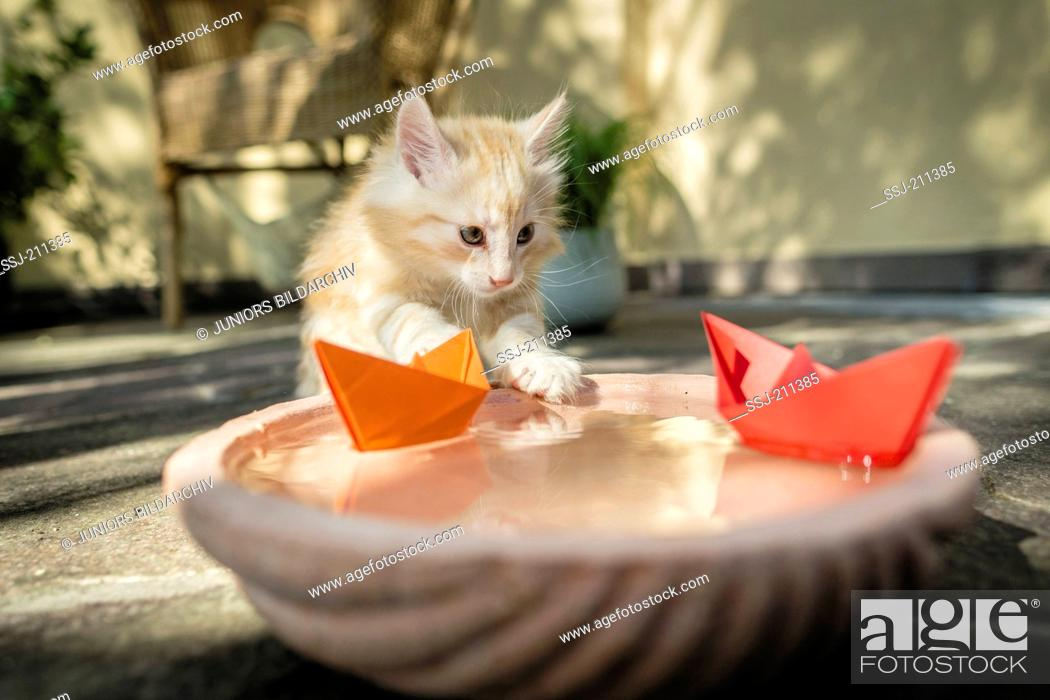 Stock Photo: Norwegian Forest Cat. Kitten playing with paper boats on a water bowl. Germany. Restriction: Not for guidebooks for pet care until 9/2018.