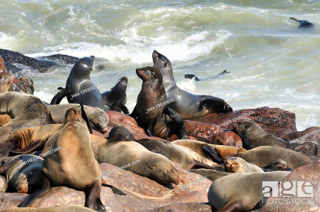 Stock Photo: Africa, Cape Cross, Namibia, Seal Colony, Seals, animals, Skeleton Coast, beach, laying, mammal, ocean, sea lion, animal, sunbathing, tide, waves.