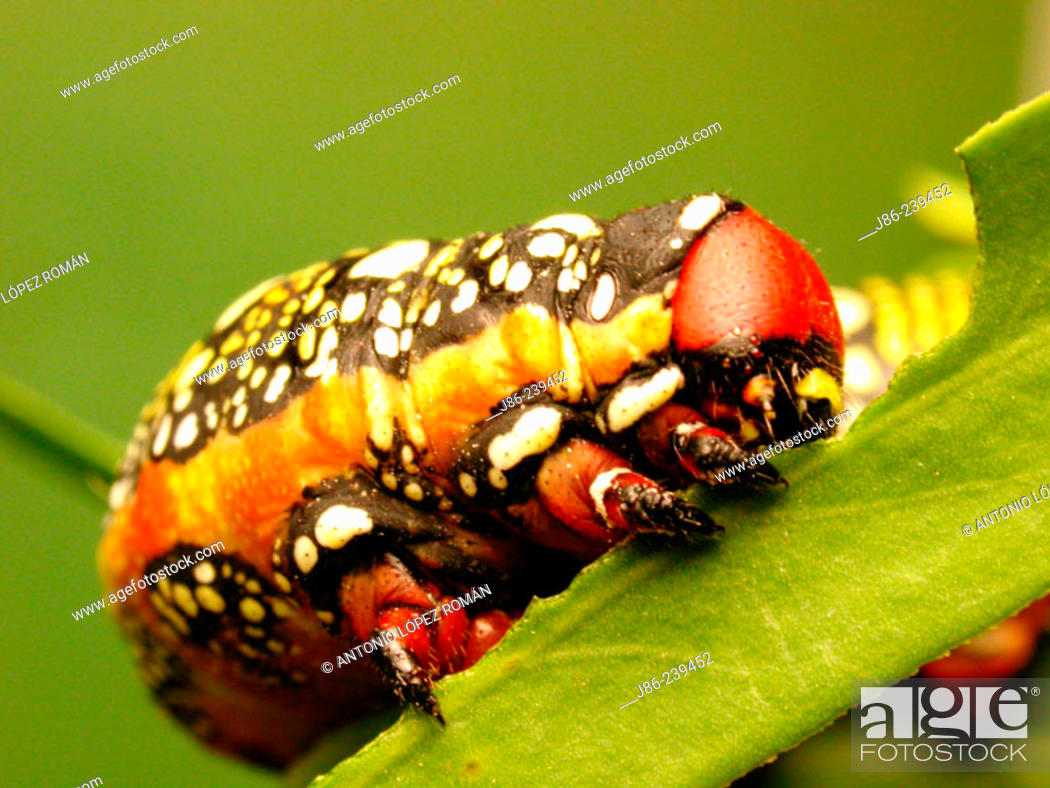 Stock Photo: Spurge Hawkmoth caterpillar (Hyles euphorbiae).