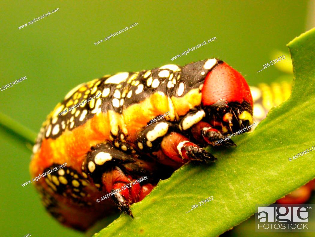 Stock Photo: Spurge Hawkmoth caterpillar (Hyles euphorbiae).