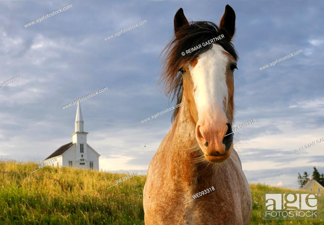 Stock Photo: Close up of curious Clydesdale horse at Highland Village Museum at Iona Cape Breton.