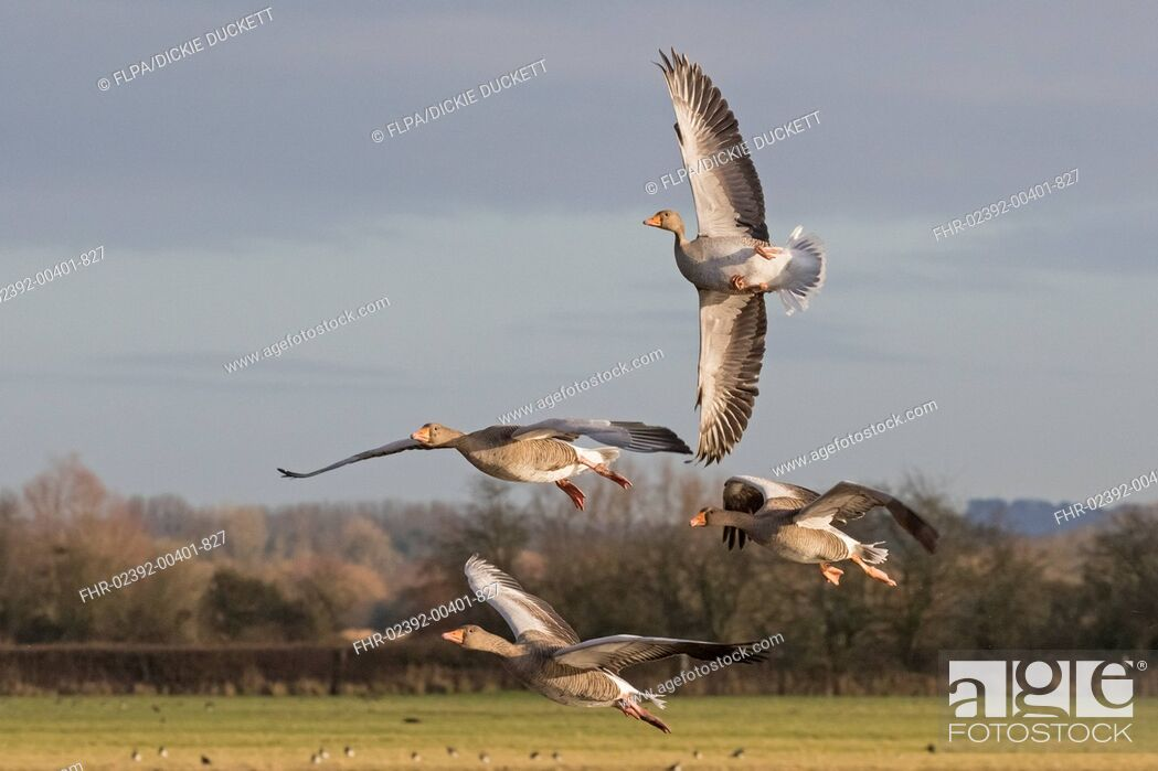 Imagen: Greylag Goose (Anser anser) four adults, in flight, with one 'whiffling', Gloucestershire, England, December.