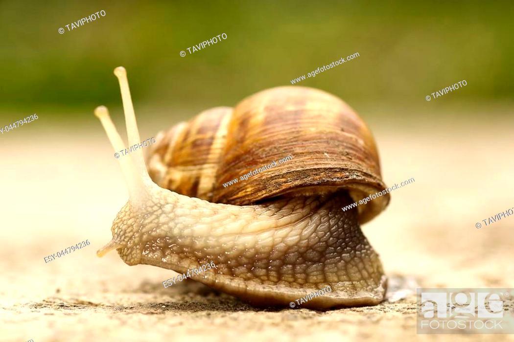 Stock Photo: macro shot of a common garden snail ( Cornu aspersum ).