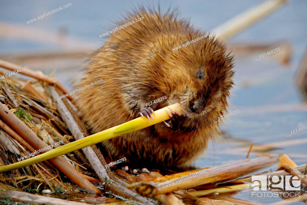 Stock Photo: Muskrat(s) (Ondatra zibethica) - New York - Chiefly aquatic - Lives in marshes-edges of ponds-lakes and streams - Moves overland especially in autumn - Feeds on.