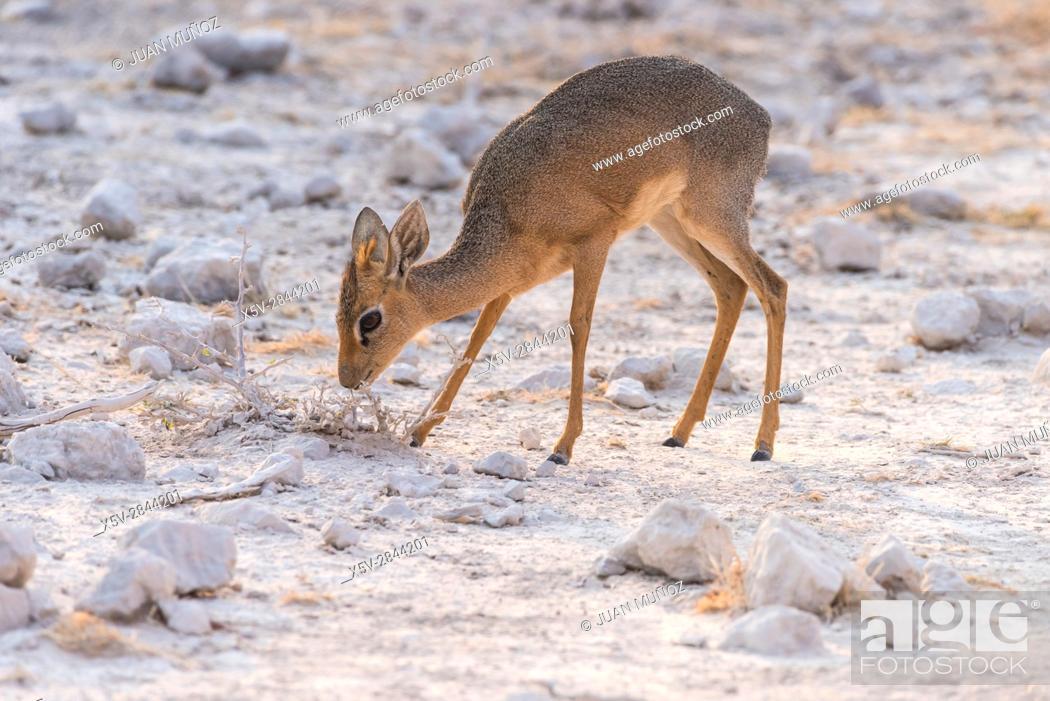Stock Photo: Damara dik-dik (Madoqua kirkii damarensis). Etosha National Park. Namibia. Africa.