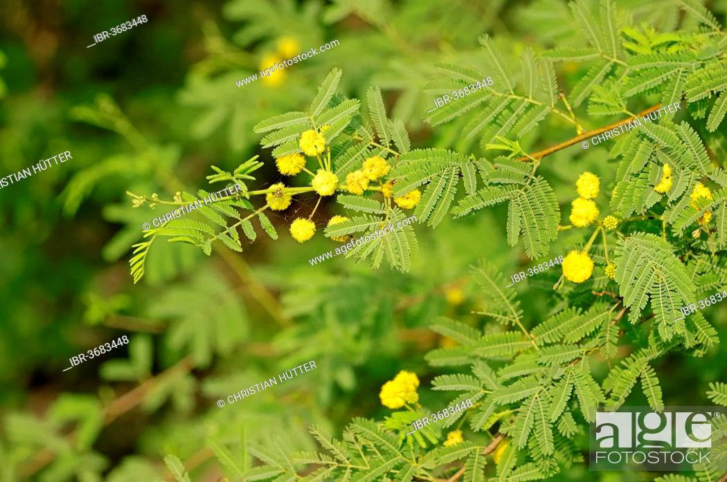 Gum Arabic Tree Prickly Acacia Or Thorn Mimosa Acacia Arabica Acacia Nilotica Stock Photo Picture And Rights Managed Image Pic Ibr 3683448 Agefotostock