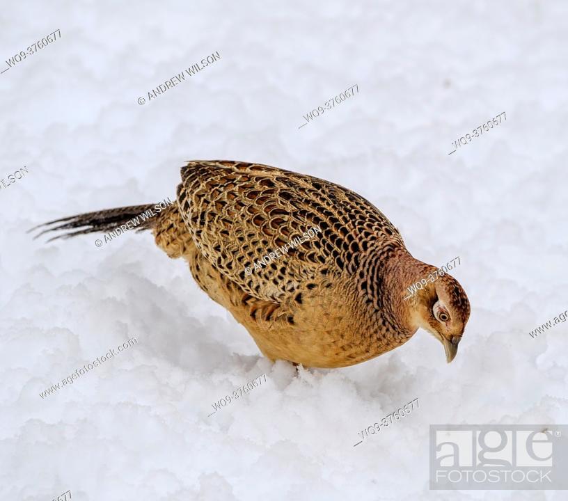 Stock Photo: Female pheasant (Phasianus colchicus) in the snow, South Lanarkshire, Scotland.