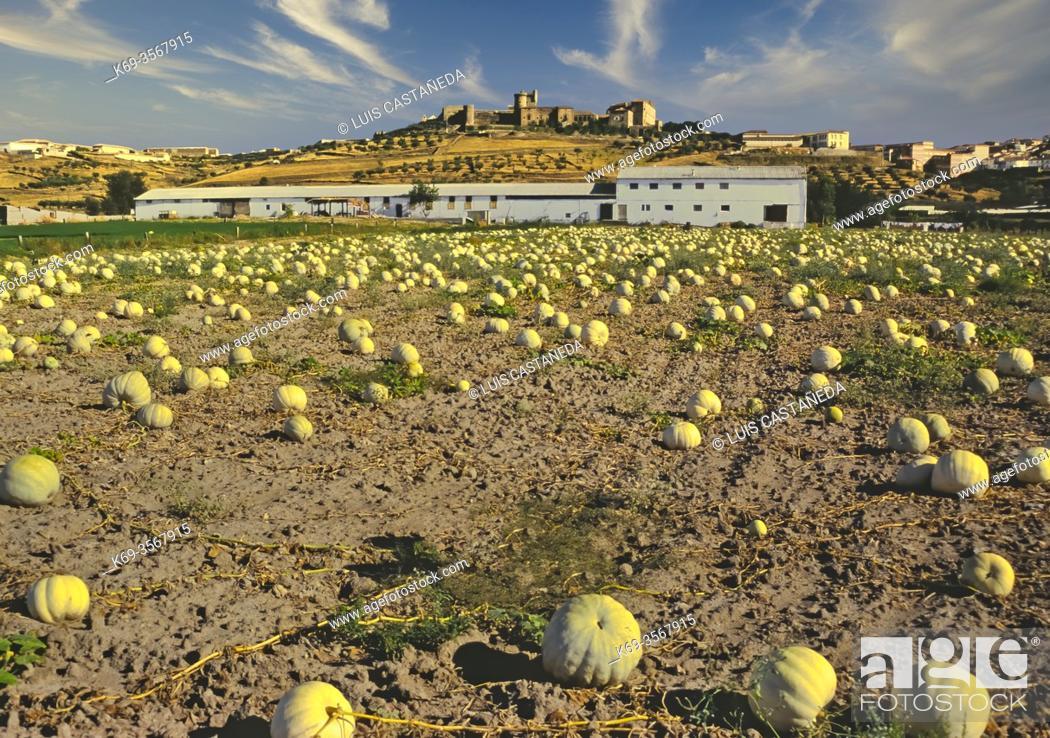Stock Photo: Pumpkin Field. Oropesa. Toledo. Spain.