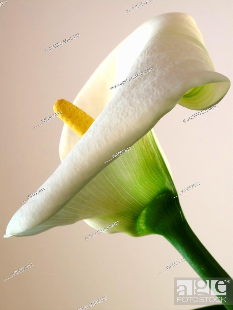 Stock Photo: Zantedeschia,Calla Lillies.