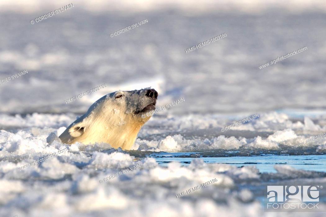 Imagen: United States, Alaska, Arctic National Wildlife Refuge, Kaktovik, One sub adult polar bear swim in slush ice along a barrier island outside Kaktovik, Alaska.