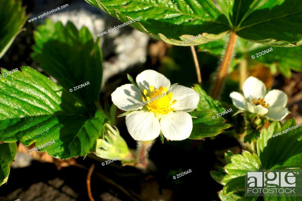 Stock Photo: Strawberry.