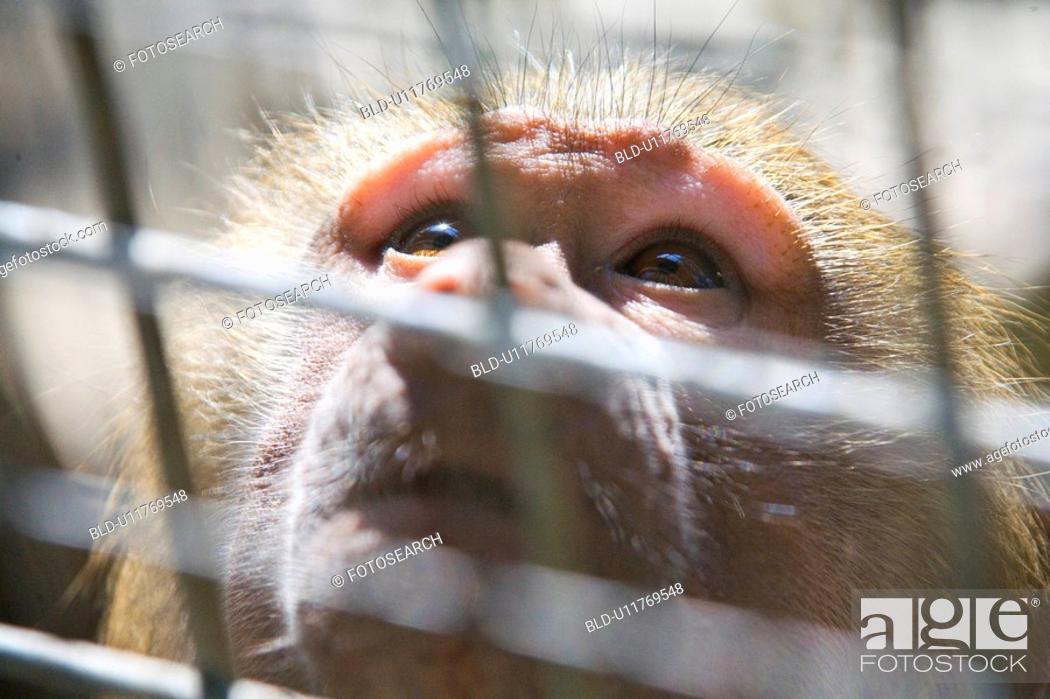 Stock Photo: ape, afraid, anxieties, animal, alfred, aengstlichkeit.