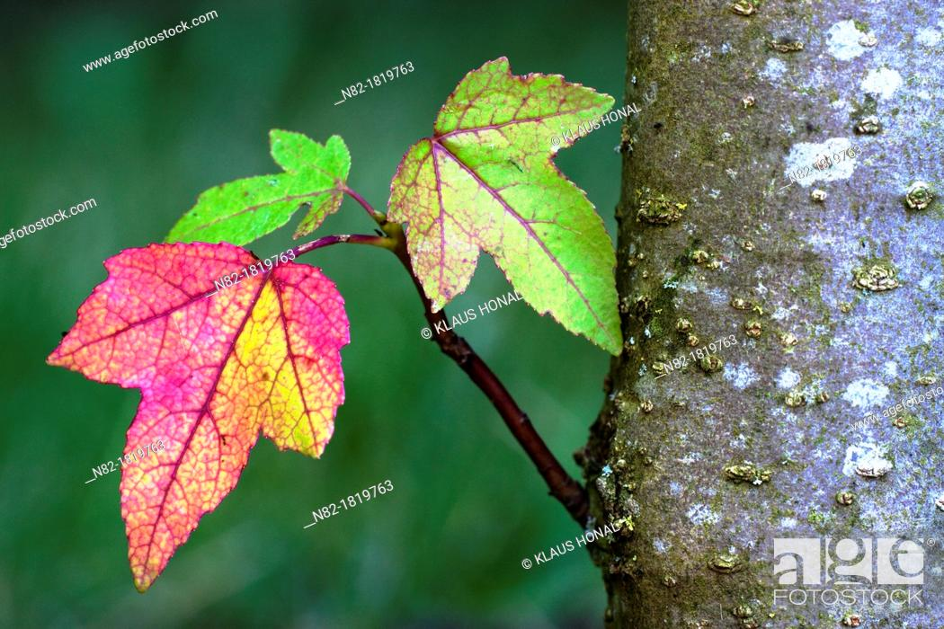 Imagen: The colorful leaves of the American sweetgum or Red gum Liquidambar styraciflua in autumn - Bavaria/Germany.