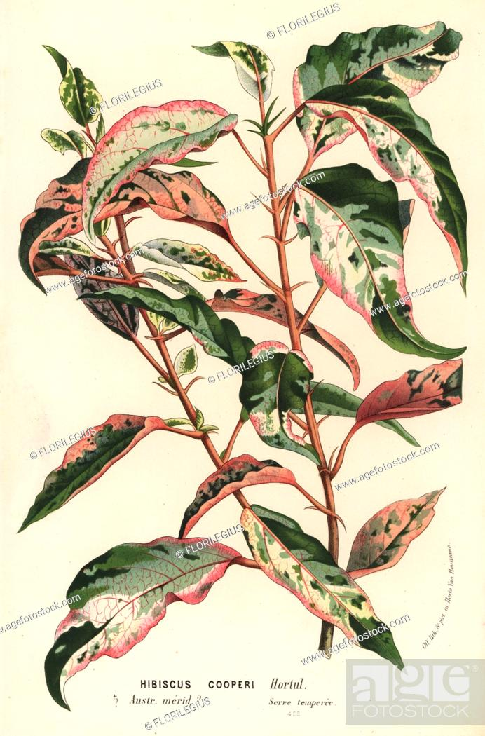 Stock Photo: Chinese hibiscus or China rose, Hibiscus rosa-sinensis (Hibiscus cooperi). Handcoloured lithograph from Louis van Houtte and Charles Lemaire's Flowers of the.