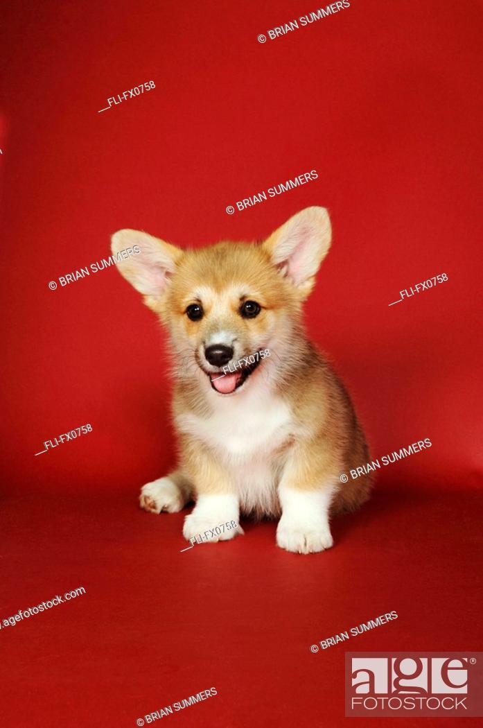 Photo de stock: Corgi Puppies on Red Background.