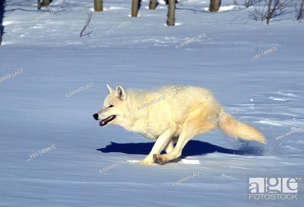 Stock Photo: ARCTIC WOLF canis lupus tundrarum, ADULT RUNNING ON SNOW, ALASKA.