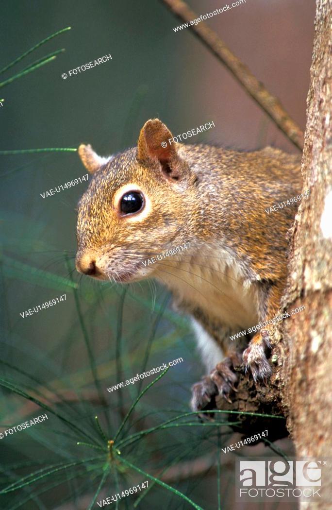 Stock Photo: hoernchen, animals, body, brown.