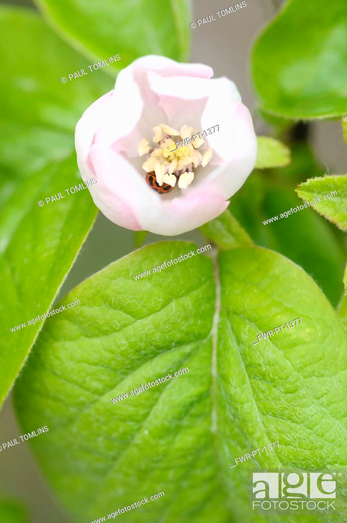 Imagen: Quince, Cydonia oblonga, Close top view of one opening white flower and leaves.