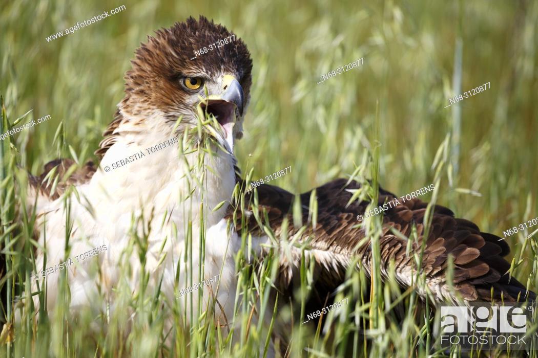 Stock Photo: Bonelli's eagle (Aquila fasciata), Majorca, Balearic Islands, Spain.